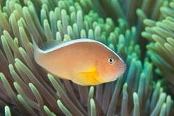 BD-141021-Bali-5865-Amphiprion-akallopisos.-Bleeker.-1853-[Skunk-clownfish].jpg